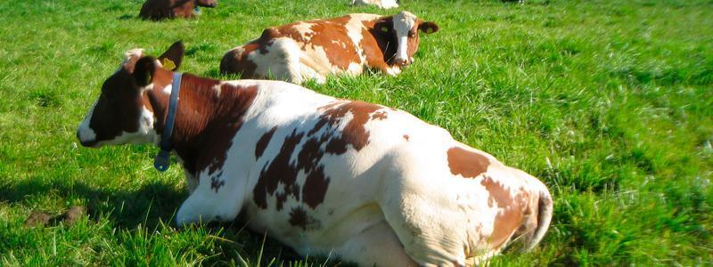 kaksi lehmaa makaa laitumella